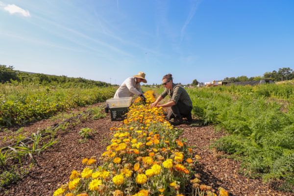 Sierra Nevada Brewing Company gardeners crouched over row of yellow flowers