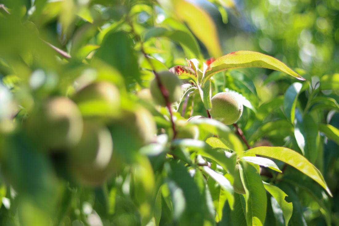 Close up peaches growing on tree