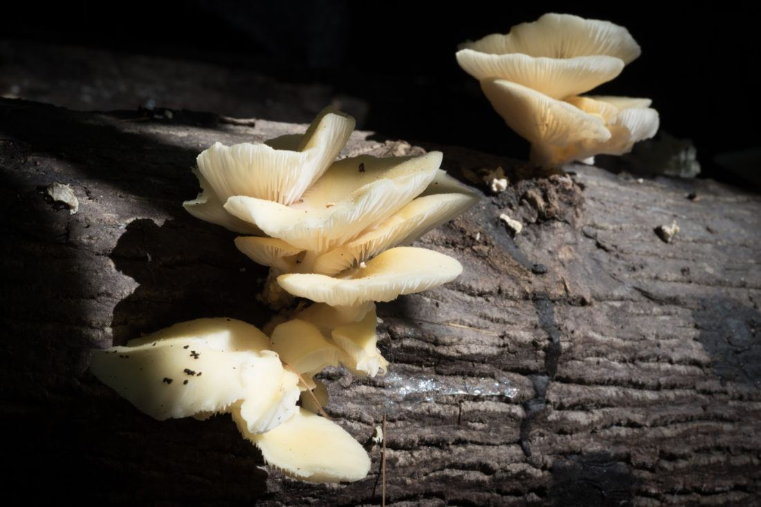 oyster mushrooms growing on a log at Sierra Nevada Brewing Co.