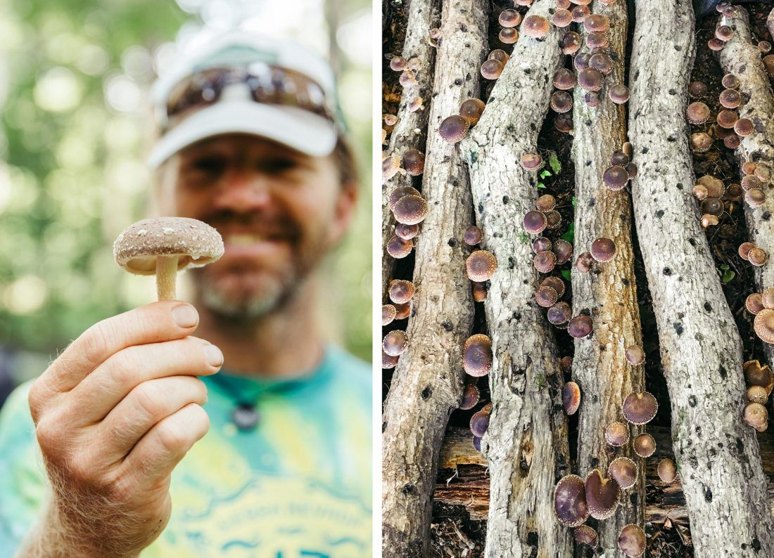 side-by-side images of a man holding a shiitake mushroom and a stack of logs growing shiitake mushrooms