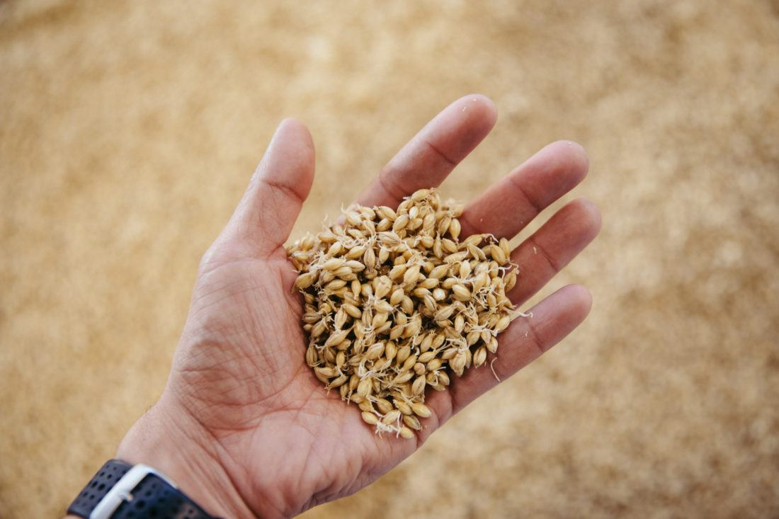 Kernels of craft malt in the palm of a hand