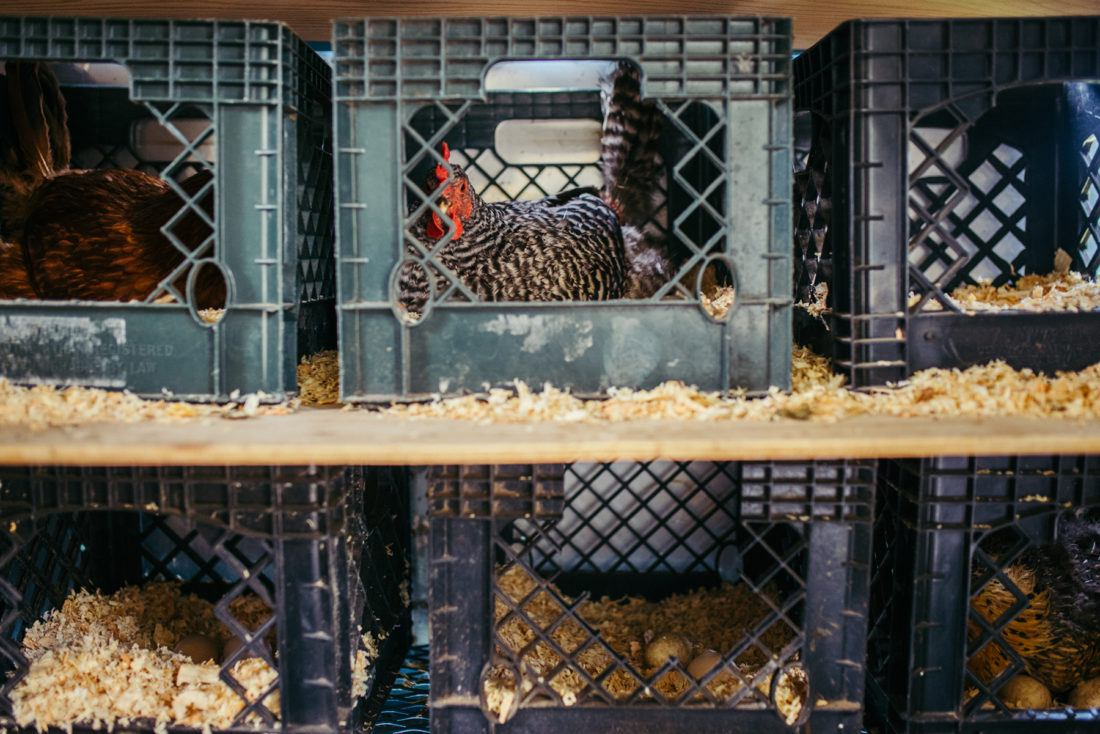 Chickens in nest boxes at Sierra Nevada Brewing Company