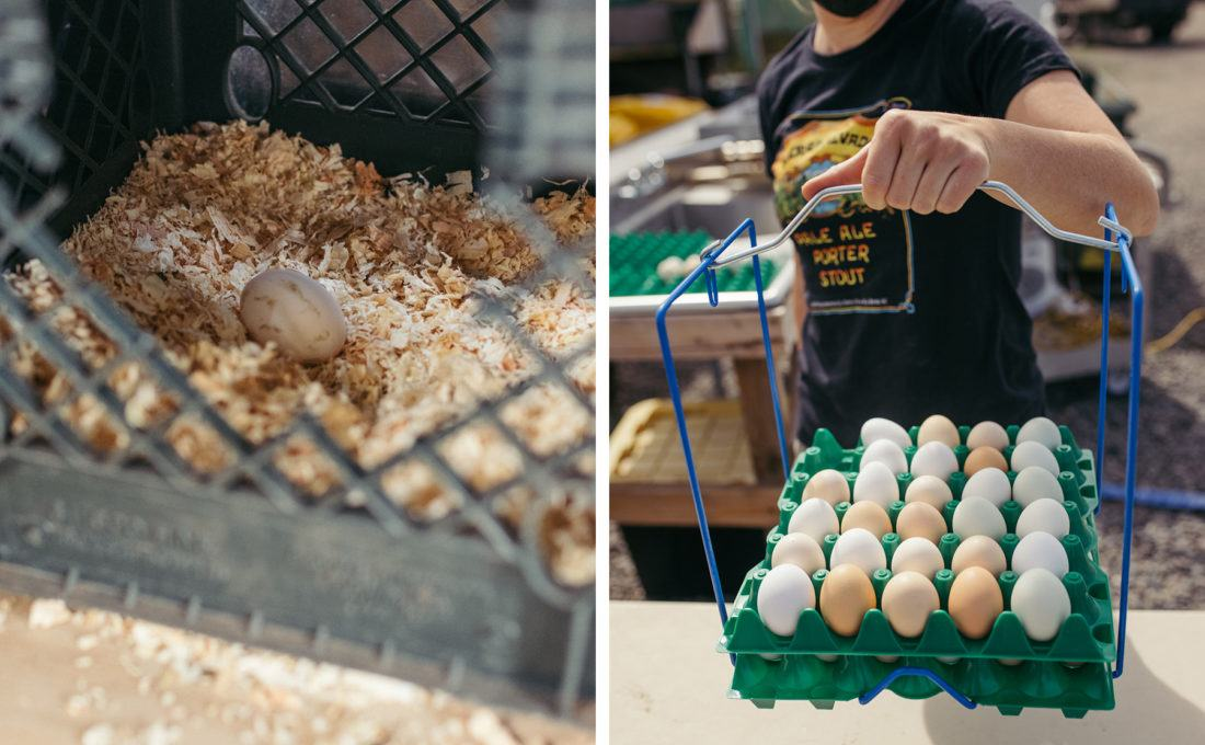Fresh organic eggs collected from chickens at Sierra Nevada Brewing Company
