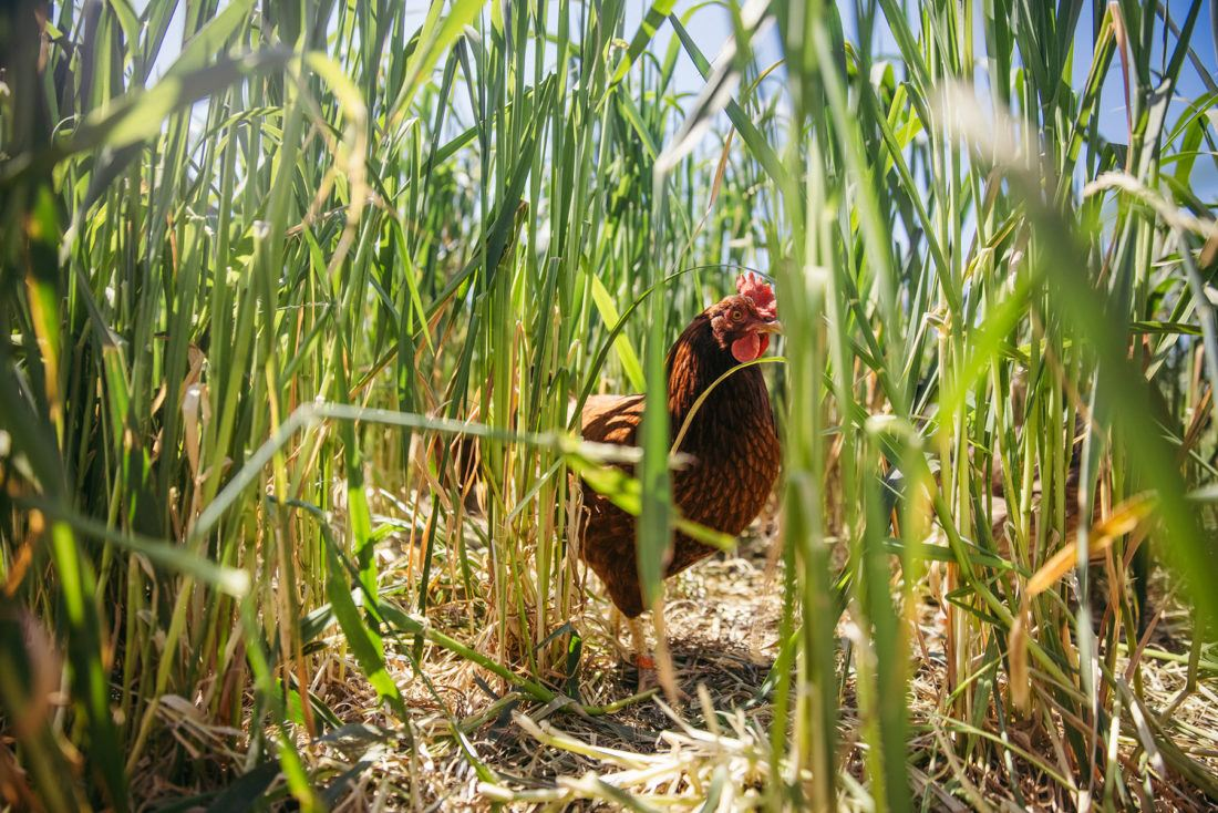 A single chicken in tall grass at Sierra Nevada Brewing Company in Chico, California
