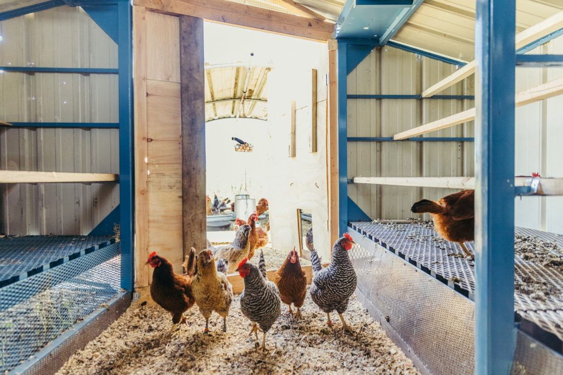 Chickens inside their coop at Sierra Nevada Brewing Company in Chico, California