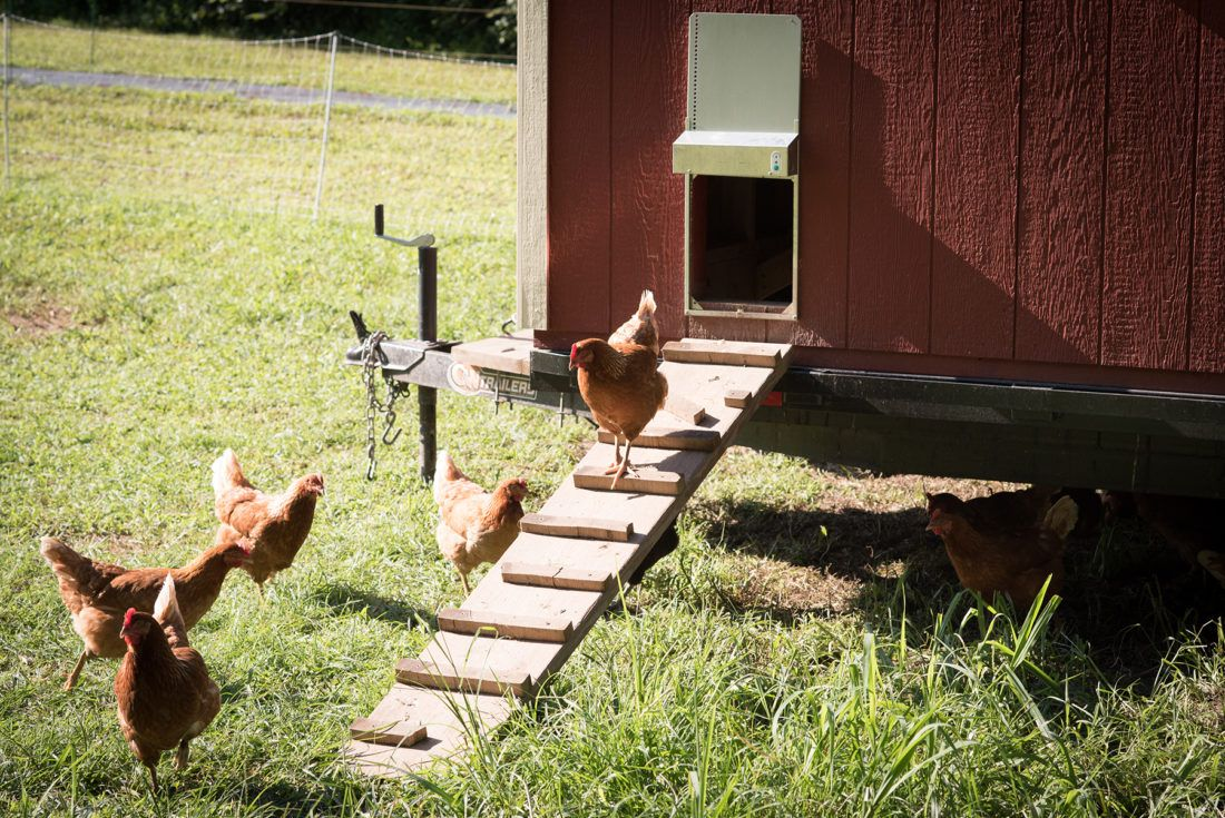 Chickens walking down the ramp of their coop at Sierra Nevada Brewing Company