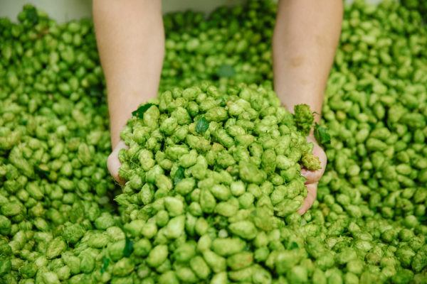 Two hands reaching into a pile of freshly harvested hops.