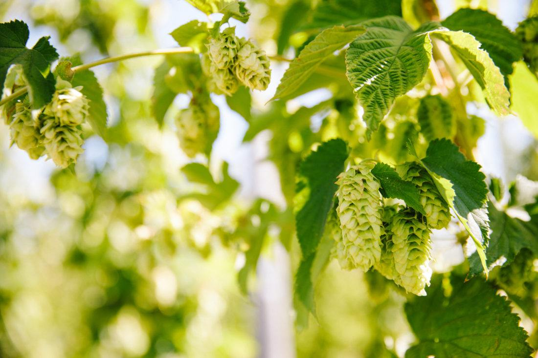 Close-up view of hop cones growing at Sierra Nevada Brewing Co.