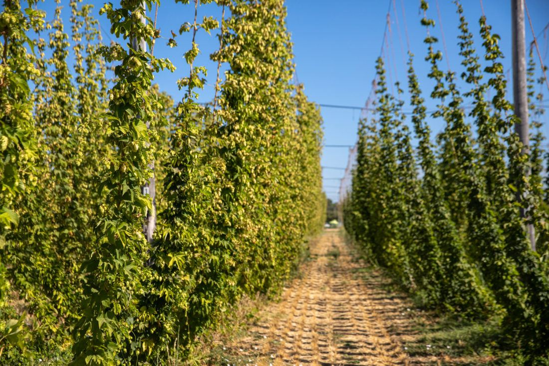 Looking down a row of Estate hops at Sierra Nevada Brewing Co.