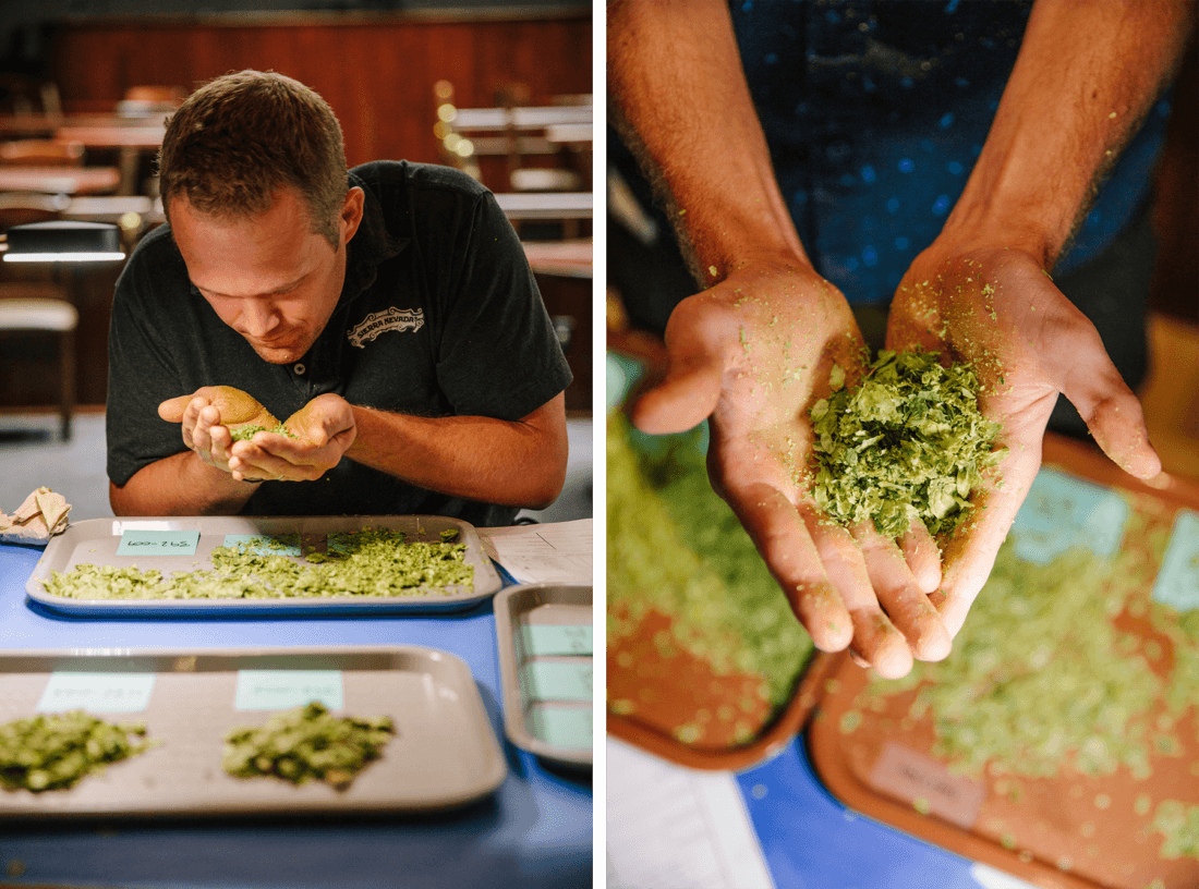 Sierra Nevada brewers rubbing and smelling hops during annual hop selection